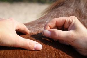 Pferde - Akupunktur
